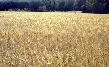 matures: Rural landscape with field of rye on summer day and green forest away