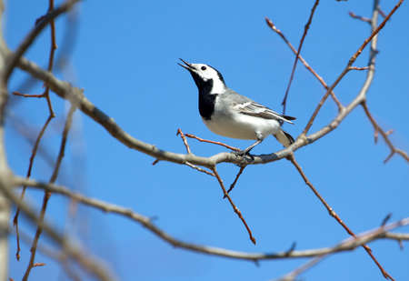 white wagtail: White wagtail bird sits on tree branch and sings over cloudless blue sky in spring Stock Photo