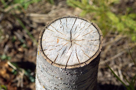 quaking aspen: Stump of sawn aspen with cracks and annual rings. Photo closeup