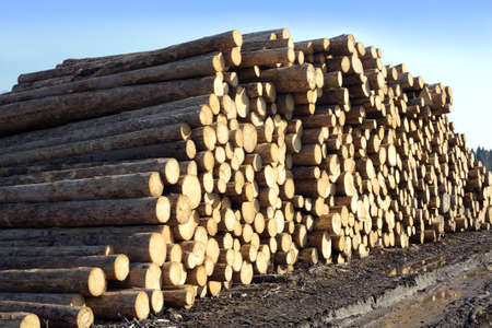 sawed: Many sawed pine logs stacked in big pile over clear blue sky side view horizontal closeup Stock Photo