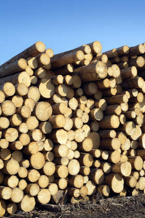 sawed: Many sawed pine logs stacked in big pile over clear blue sky side view vertical closeup