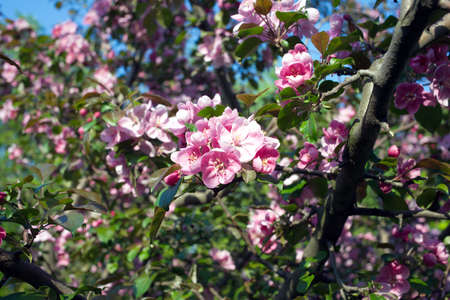 many branches: Deep apple tree branches with many pink flowers blossom in spring on sunny day closeup