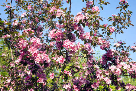 many branches: Many deep apple tree branches with beautiful pink flowers blossom in spring on sunny day closeup