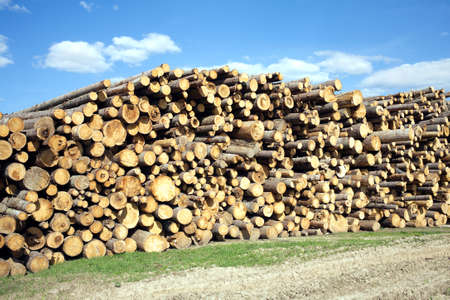 sawed: Landscape with many stacked sawed pine logs in piles beautiful sky width clouds
