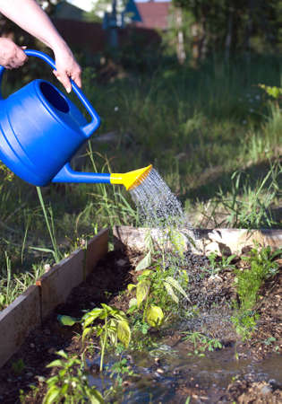 woman gardening: Woman waters from blue plastic watering plants in garden area. closeup view