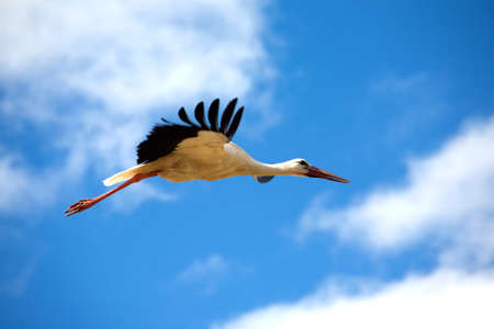 red beak: Big stork with long red beak flys against blue sky with white clouds. Birds in the wild closeup