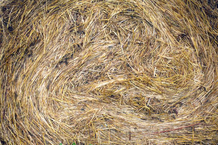 texture twisted: Lots of twisted dry hay photographed closeup as background or texture Stock Photo