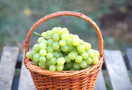 the grapes: Ripe white grape in brown wicker basket on wooden table against branches with growing grape outdoor closeup Stock Photo