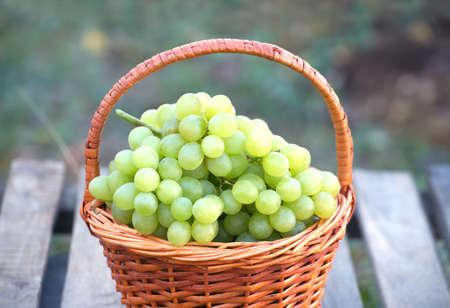 uvas: Uva blanca madura en cesta de mimbre de color marr�n en la mesa de madera contra las ramas con crecimiento de uva close-up al aire libre
