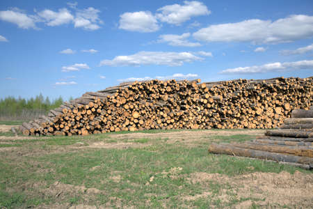 sawed: Rustic landscape with many stacked sawed pine logs in piles under beautiful blue sky width white clouds