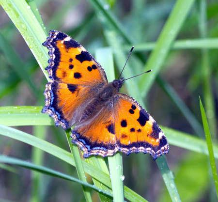 pokrzywka: Kolorowe Motyl pokrzywka siedzi na zielonej trawie z krople rosy z bliska