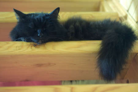 stairs interior: Fluffy black domestic cat sleeping on the steps of wooden stairs inside the country house. Color horizontal photo closeup