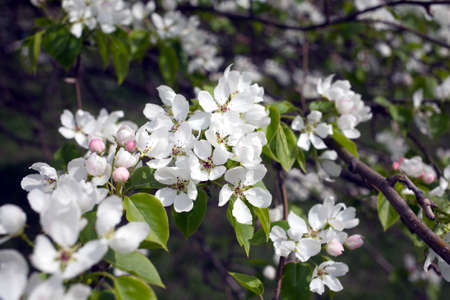 many branches: Deep apple tree branches with many white flowers blossom in spring on sunny day closeup