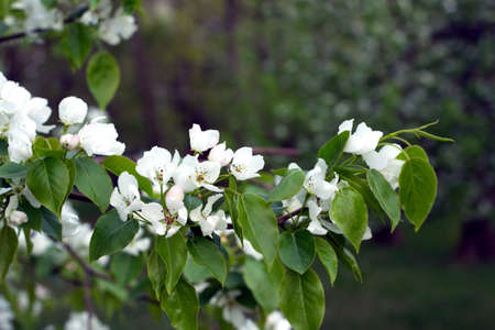 many branches: Deep apple tree branches with many white flowers blossom in spring on sunny day close-up