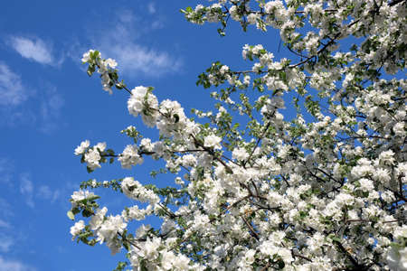 many branches: Deep apple tree branches with many white flowers blossom in spring on sunny day horizontal view close-up