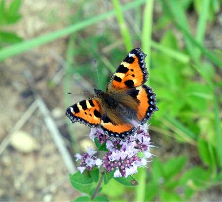 pokrzywka: Kolorowe Motyl pokrzywka siedzi na polu kwiatów w lecie w letni dzień zbliżeniu Zdjęcie Seryjne