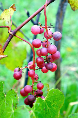 Red young grapes ripen on branches of the vine on hot summer day. Vertical photo Close-up Stock Photo