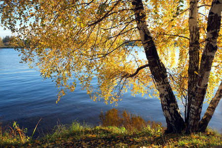 riverside landscape: Beautiful rural landscape with birches on riverside with many yellow leaves hanging down above blue river on bright bay in golden autumn