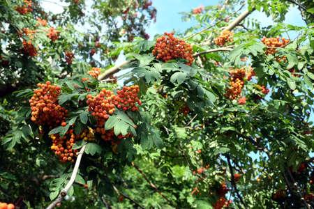 日当たりの良い夏の日の水平方向のビューで密な枝をクローズ アップ グリーンにハングアップする多くのナナカマド果実果物