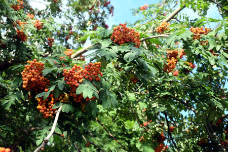 Many rowan berries fruits hangs on green dense branches in sunny summer day horizontal view close up