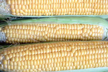 Row of many ripe corn on the cob with green leaves closeup