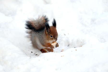 Squirrel sits on the snow and eats food outdoor in winter day closeup