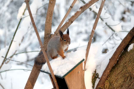 Squirrel sits on top of the food feeder on a frozen winter forest closeup view