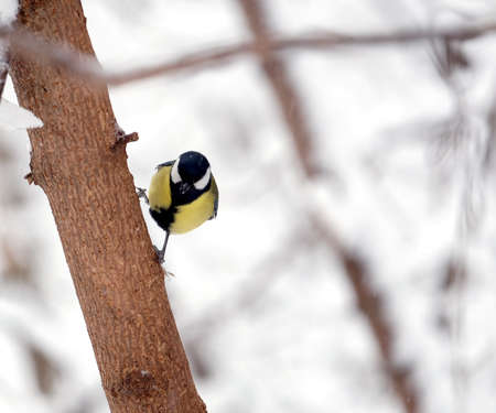 Alone great tit sits on a frozen tree trunk in a snowy winter forest closeup Stock Photo