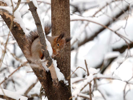 Squirrel sits and eating food on a frozen tree barrel in a snowy winter forest Stock Photo