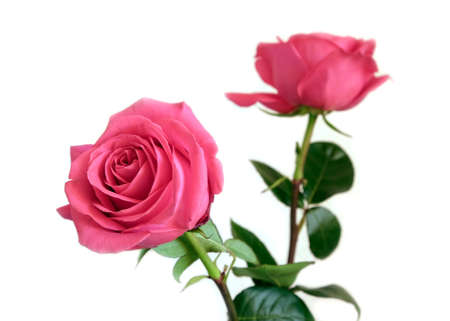 Beautiful pink roses flowers isolated on white background closeup view