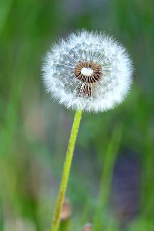 Fluffy dandelion flower with ripe seeds in a green grass field as background on summer sunny day vertical view closeup