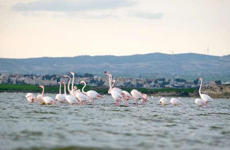 Flamingo flock on Sal Lake in Larnaka Cyprus