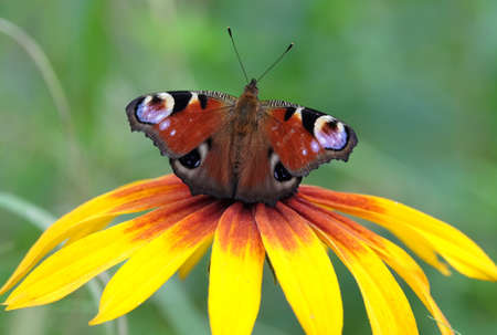 Peacock eye Butterfly sitting on the yellow flower closeup