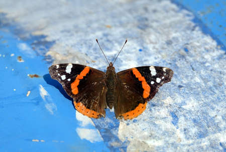 Admiral Butterfly on blue and white background