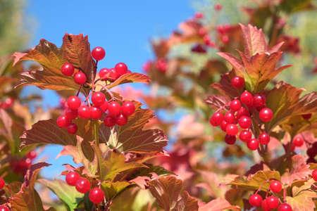 Viburnum bush with hanging ripe red berries closeup