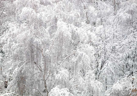 Dense winter forest covered with clean white snow Фото со стока