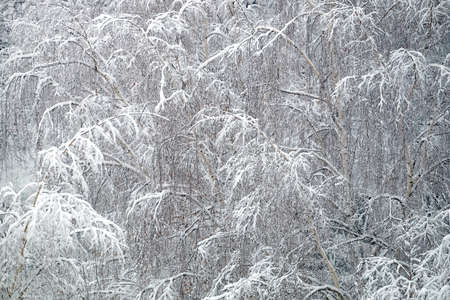 Frozen deep forest with birches in snow top view 免版税图像