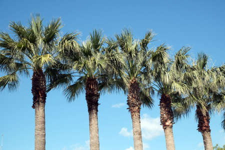 Row of tropical palm trees grows under cloudless blue sky