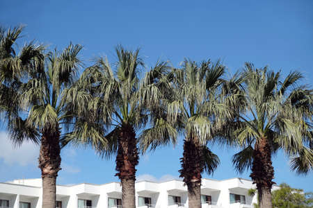 Row of tropical palm trees grows near resort hotel