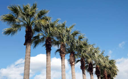 Row of tropical palm trees grows diagonal view Banco de Imagens
