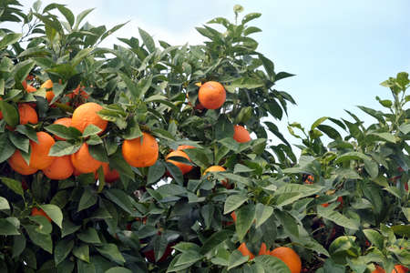 Many ripe appetizing oranges grows on orange tree branches