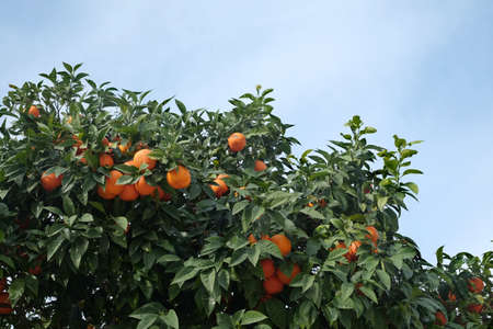 Many ripe appetizing oranges grows on orange tree branches Banco de Imagens - 122371337