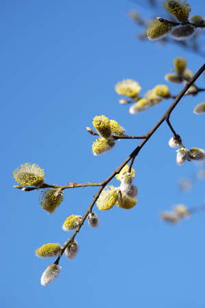 Willow branch with young sprouts flowering in spring