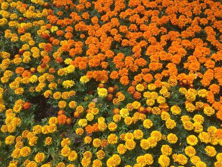 Velvet flowers as background top view close up Banco de Imagens
