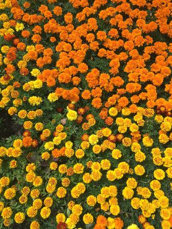 Velvet flowers as background top view closeup