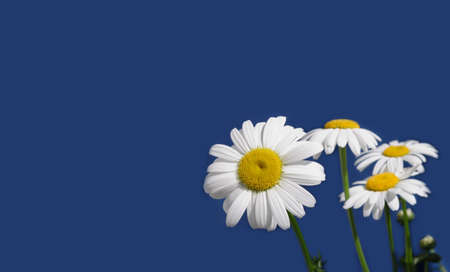 Greeting card with wild chamomile flowers isolated on blue background at right and free space for text at left
