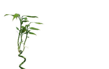 Greeting card with green decorative bamboo tree on spiral stem isolated on white background at left and free space for text at right