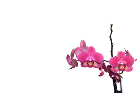 Greeting card with beautiful pink orchid flowers blossom isolated on white background at right and free space for text at left on photography
