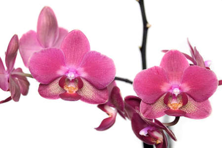Branch with beautiful pink orchid flowers isolated on white background close up view