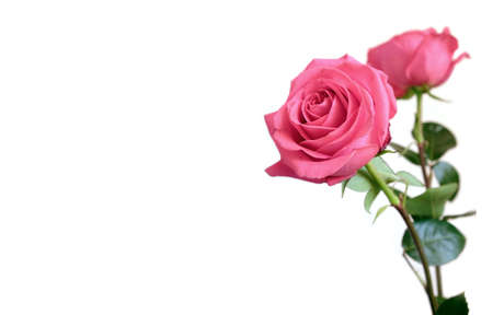Beautiful pink roses flowers on long stems isolated on white background at right and free space for text at left on photography